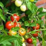 پاورپوینت-کنترل-علف-های-هرز-گوجه-فرنگی