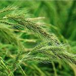 پاورپوینت-مدیریت-علف-های-هرز-برنج