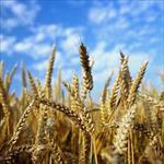 گزارش-کارآموزی-شرکت-تعاونی-تولید-کشاورزی