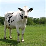 پروژه-آزمون-نتایج-در-گاوهای-شیری