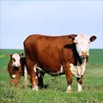 تحقیق-پرورش-گاو-گوشتی