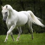 تحقیق-پیرامون-اسب