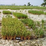 مقاله-اثر-تنش-شوری-بر-رشد-گیاه