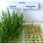 مقاله-تنش-شوری-گیاهان