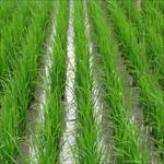 تعیین-بهترین-تراکم-و-تعداد-نشاء-و-اثرات-متقابل-آن-با-مقادیر-نیتروژن-در-کشت-برنج