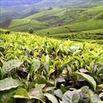 طرح-توجیهی-تولید-و-بسته-بندی-چای-و-فرآورده-های-آن