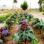 طرح-توجیهی-کشت-و-صنعت-گیاهان-دارویی