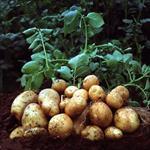پایان-نامه-تعیین-ضریب-گیاهی-و-پهنه-بندی-نیاز-آبی-سیب-زمینی