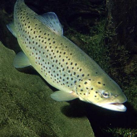 تحقیق پرورش ماهی قزل الا