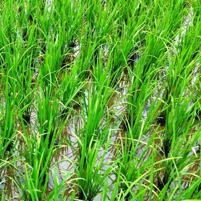 بررسي روشهاي مختلف آبياري بر روي برخي صفات مورفولوژيك و فيزيولوژيك برنج (Oryza satival L.)
