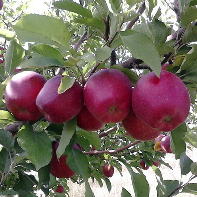 طرح احداث باغ سیب 20 هکتار به صورت آبیاری قطره ای